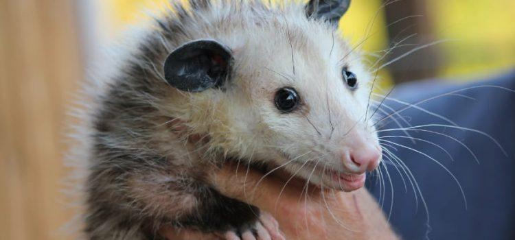 Las zarigüeyas, animales bellos y necesarios para el ecosistema