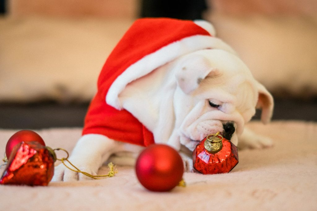close up photo of bull dog near ornaments